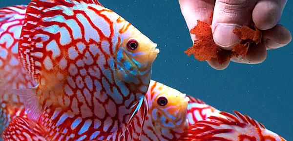 فیلم دوره 2 روزه آموزش ماهیان زینتی پرطرفدار (دانلود فوری)