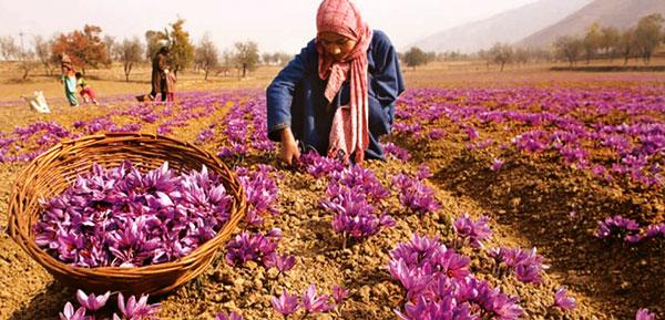 فیلم دوره 2 روزه آموزش زعفران پربازده (دانلود فوری)